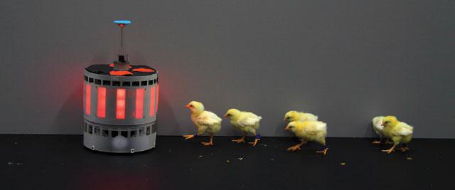 Chicks,-Halloy2