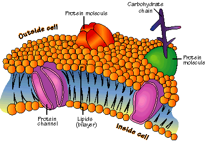 Illustration-of-typical-cell-membrane-proteins-Adapted-from-Google